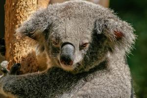 koala - free pixabay image
